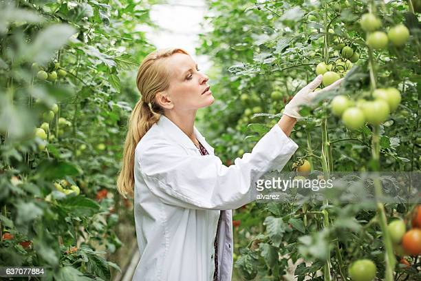 Scientist examining tomato plants in greenhouse