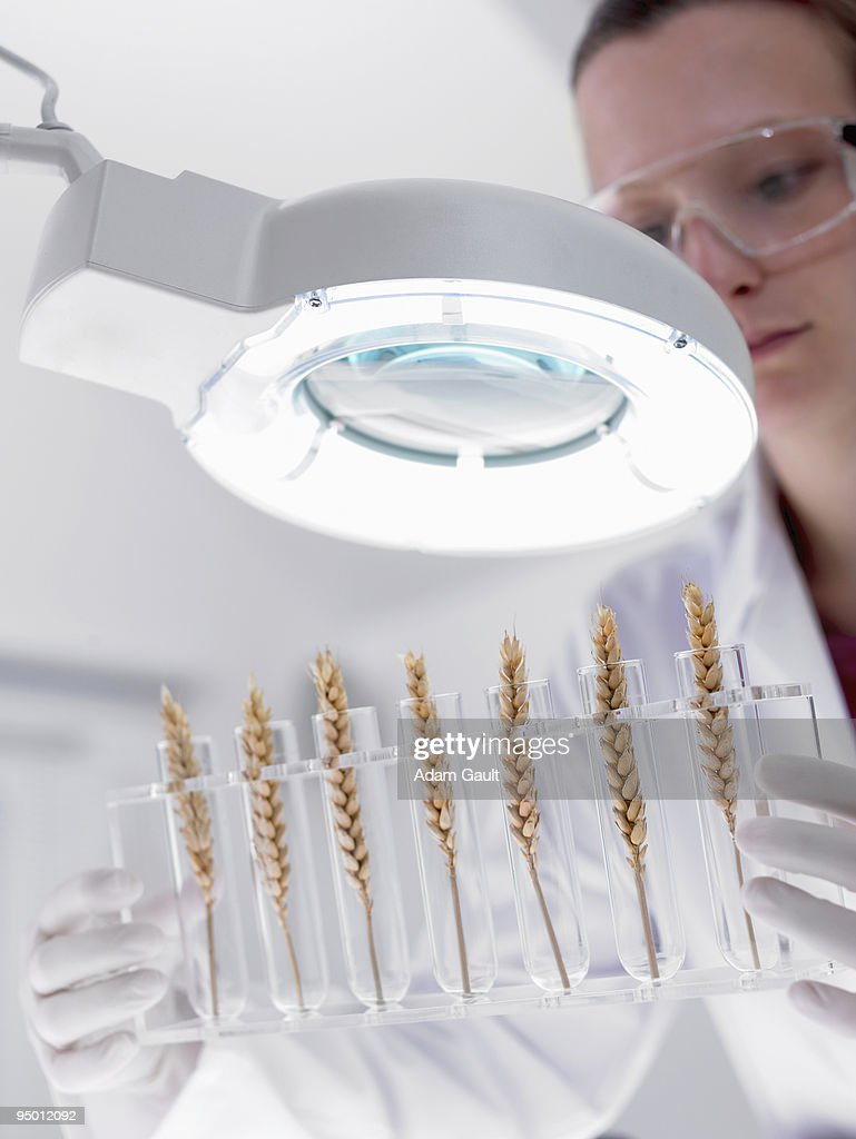 Scientist examining wheat in test tubes under magnification lamp : Stock Photo