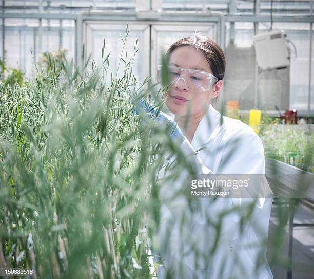 Scientist growing plants in nursery of biolab for structural analysis of DNA, protein extraction and genetic modification
