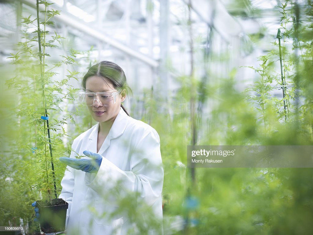 Scientist growing Sweet Wormwood (Artemisia annua) in nursery of biolab for structural analysis of DNA, protein extraction and genetic modification : Photo