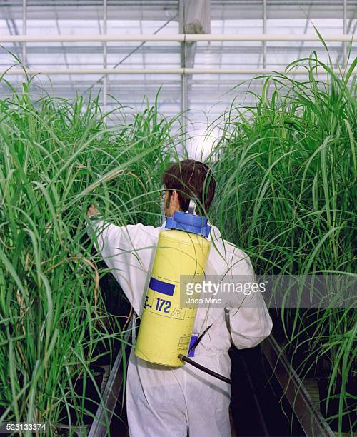 Scientist in Greenhouse Examining High Grass