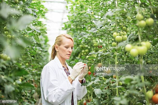 Scientist inspecting tomato plants in greenhouse