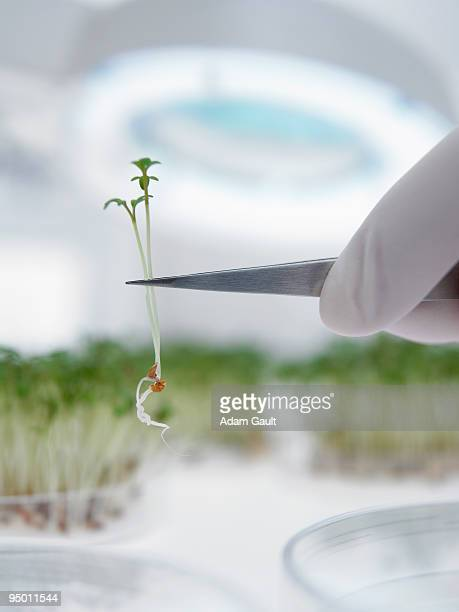 Scientist lifting sprout from petri dish with tweezers