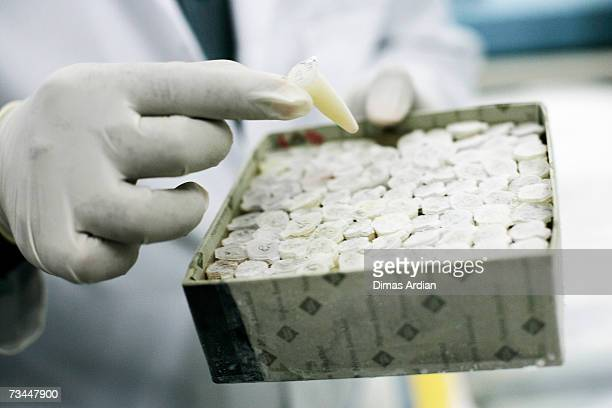 A scientist pulls out a viral sample of H5N1 from a cat in a lab that is closer monitoring H5N1 virus in animals February 28 2007 at Airlangga...