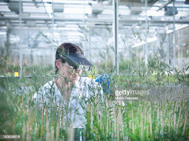Scientist scrutinising Purple false brome (Brachypodium distachyon) grown for structural analysis of DNA, protein extraction and genetic modification, in nursery of biolab