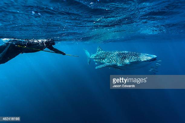 A scientist uses a harpoon to collect a Whale Shark DNA tissue sample.