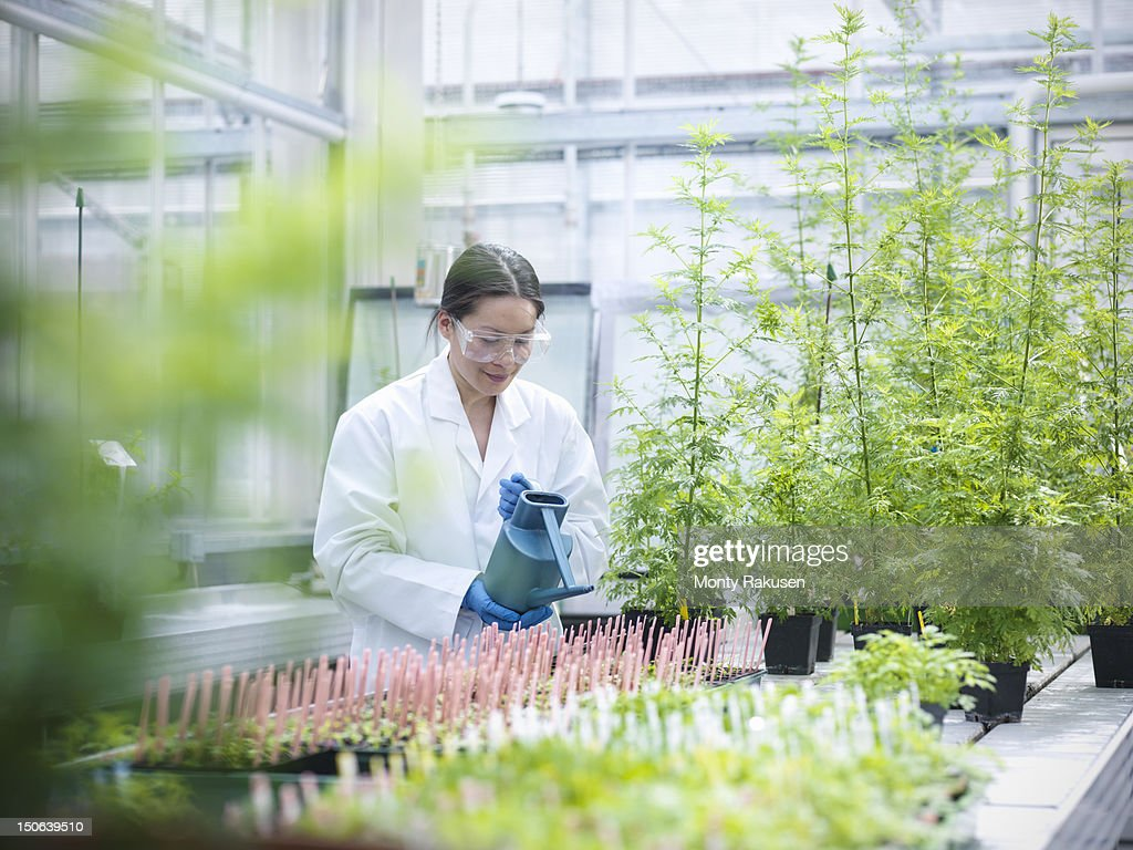 Scientist watering Sweet Wormwood (Artemisia annua) in nursery of biolab. The plants are grown for structural analysis of DNA, protein extraction and genetic modification : Photo