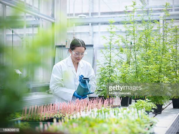 Scientist watering Sweet Wormwood (Artemisia annua) in nursery of biolab. The plants are grown for structural analysis of DNA, protein extraction and genetic modification