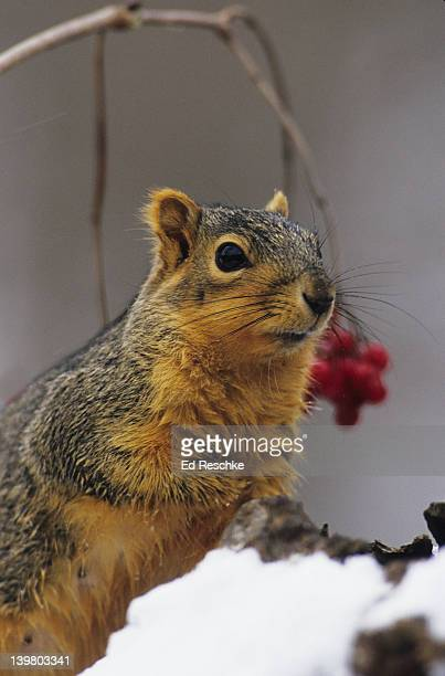 EASTERN FOX SQUIRREL, Sciurus niger.  Wherever there nut trees in the East there are fox squirrels.  Michigan