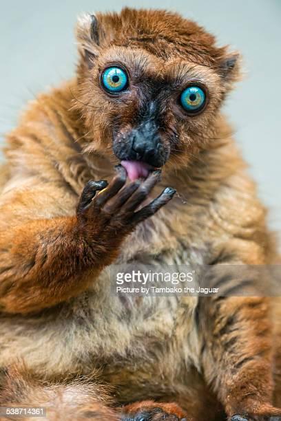 Sclater's lemur licking fingers
