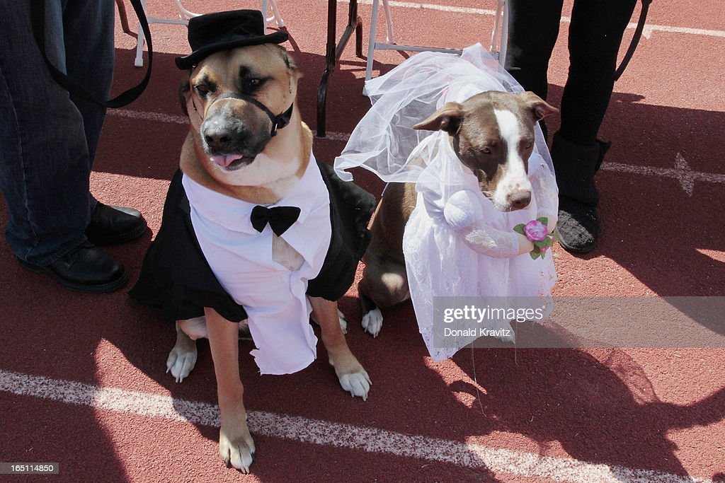 Scooby (Groom) a Boxer/Shepard, and Ella (Bride), a Hound mix, attend the Woofin Paws pet fashion show at Carey Field on March 30, 2013 in Ocean City, New Jersey.