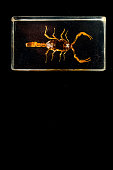 Photo of Scorpion in glass on black background