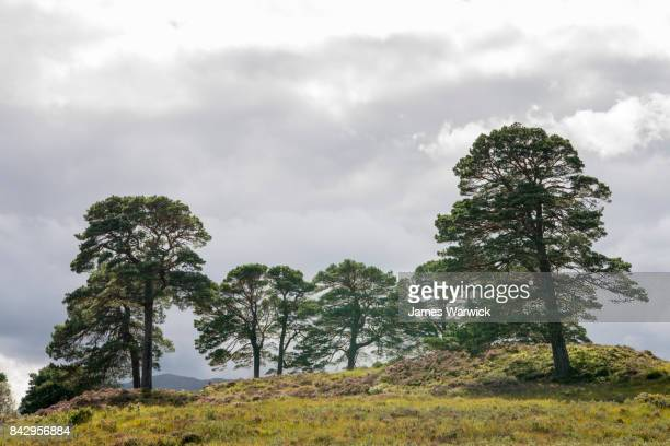 Scot pines and heathland