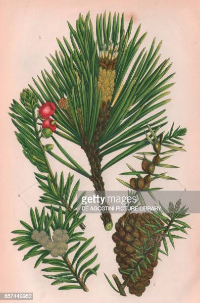 1 Scotch fir 2 Juniper 3 Yew chromolithograph ca cm 14x22 from The Flowering Plants Grasses Sedges and Ferns of Great Britain by Anne Pratt published...
