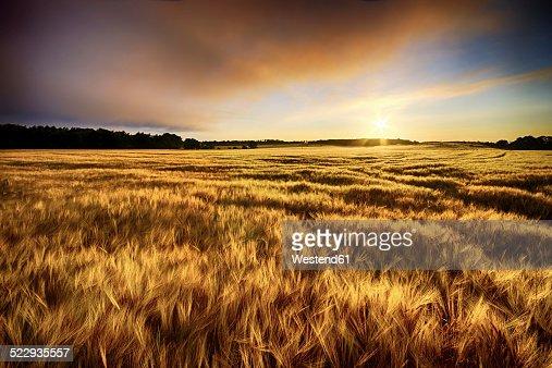 Scotland, East Lothian, sunrise over barley field