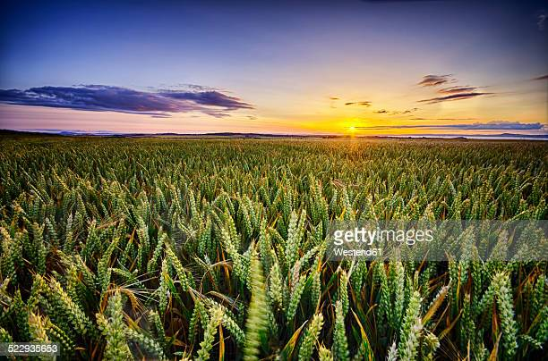 Scotland, East Lothian, sunset over wheat field