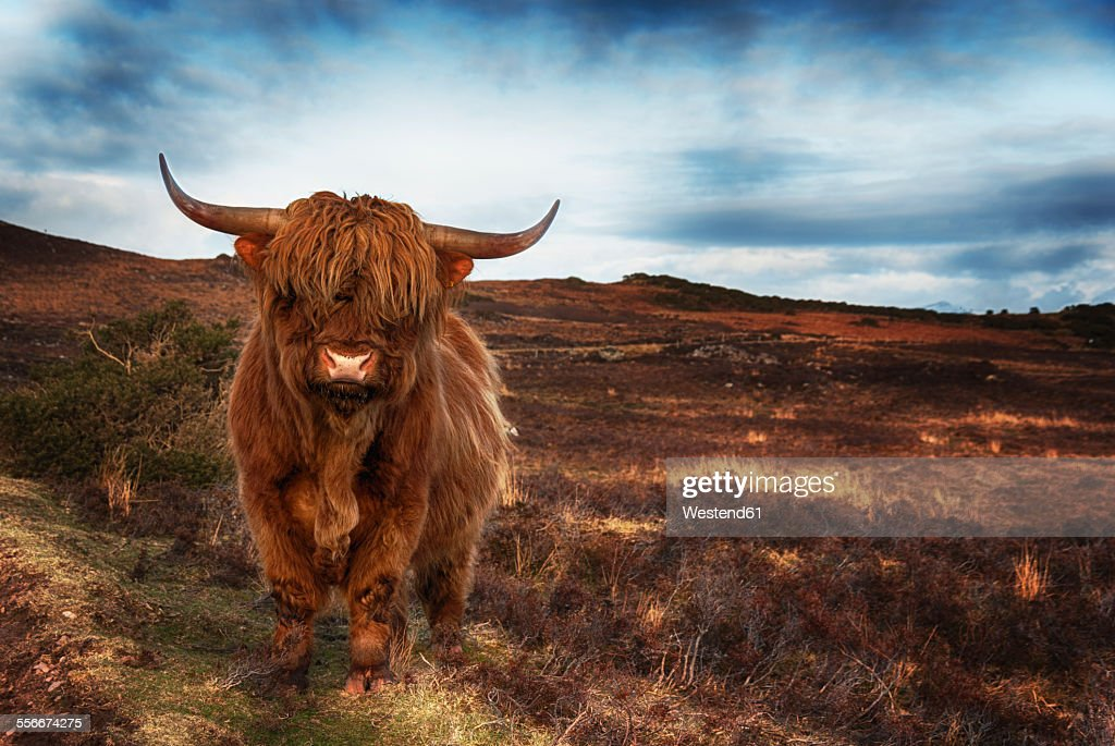 UK, Scotland, Highland cattle, Wester Ross at Laide