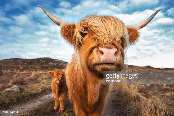 UK, Scotland, Highland cattle with with calf at Laide