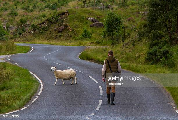 UK, Scotland, Man walking down the road and sheep crossing
