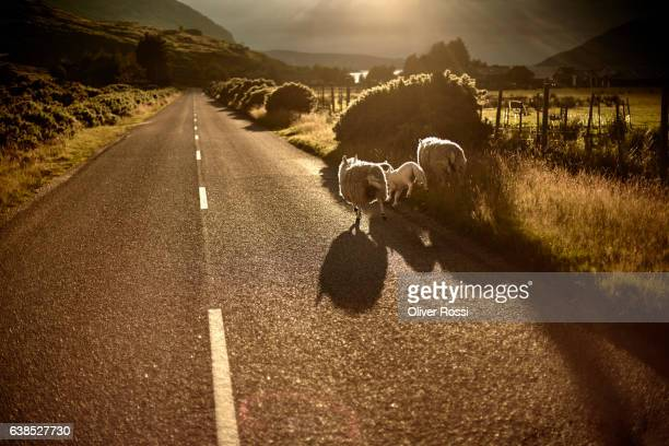 UK, Scotland, sheep on country road