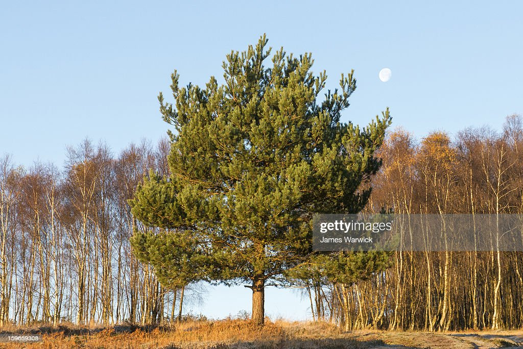 Scots pine, silver birch and the moon : Stock Photo