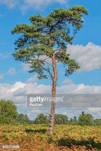 Scots Pine Tree : Stock Photo