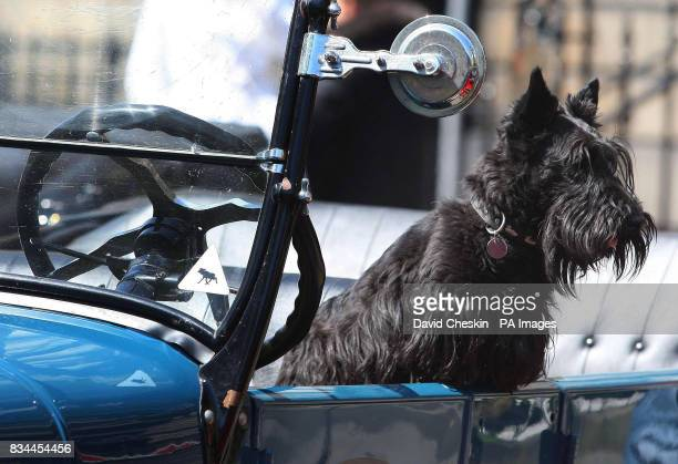 A scottie dog sits in one of the 89 Ford Model T cars that took part in a parade through Edinburgh to celebrate the centenary of the classic car