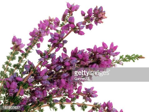 Scottish Bell Heather (Erica tetralix) on White Background