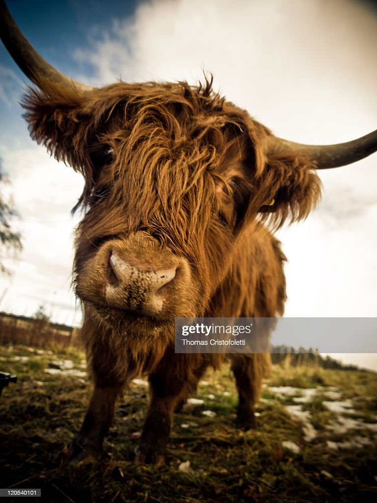 Scottish cow wide angle