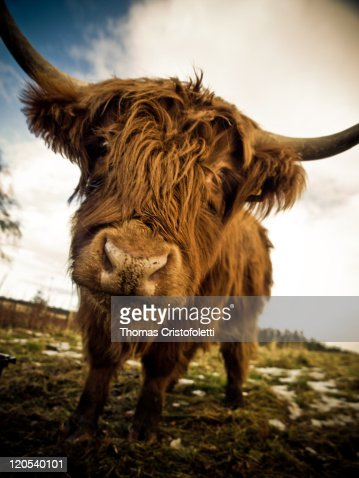 Scottish cow wide angle