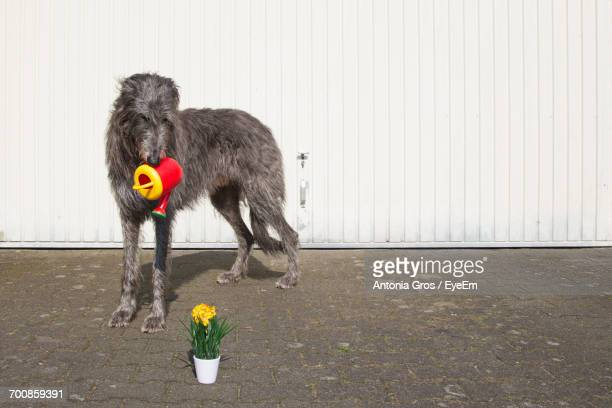Scottish Deerhound Carrying Watering Can While Looking At Flower Pot Against Wall
