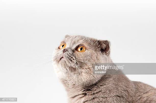 Scottish fold cat. Gray and orange color. Isolated.