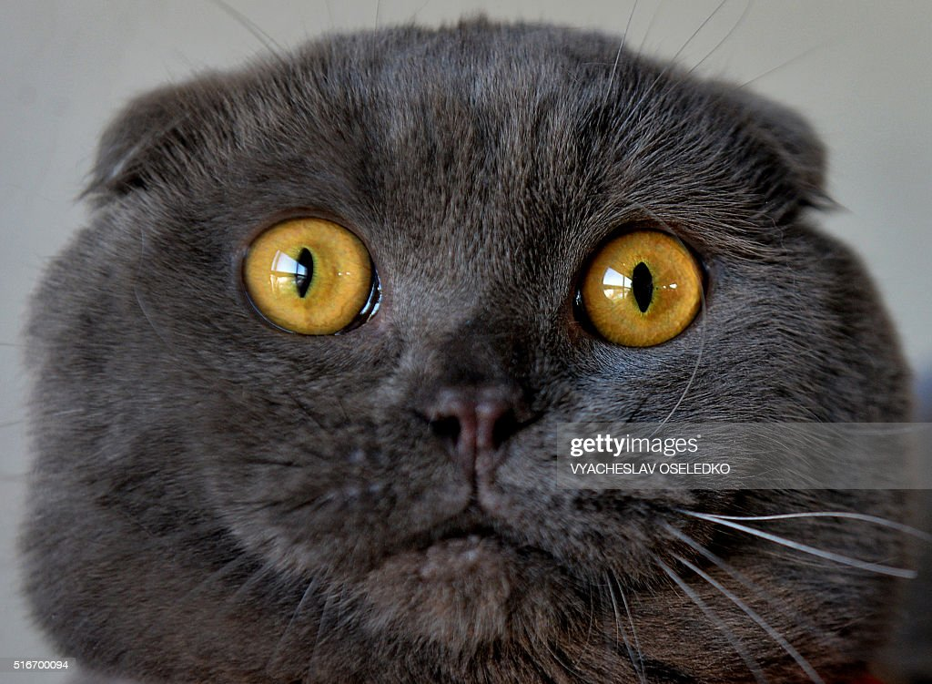 Scottish Fold cat is pictured during a cat exhibition in Bishkek on March 20, 2016. / AFP / VYACHESLAV