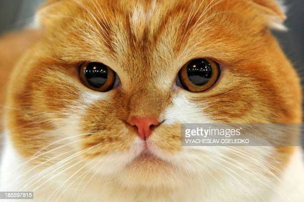 A Scottish Fold cat looks on during a cat exhibition in Bishkek on October 20 2013 Cat lovers from Kyrgyzstan Kazakhstan and Uzbekistan took part in...
