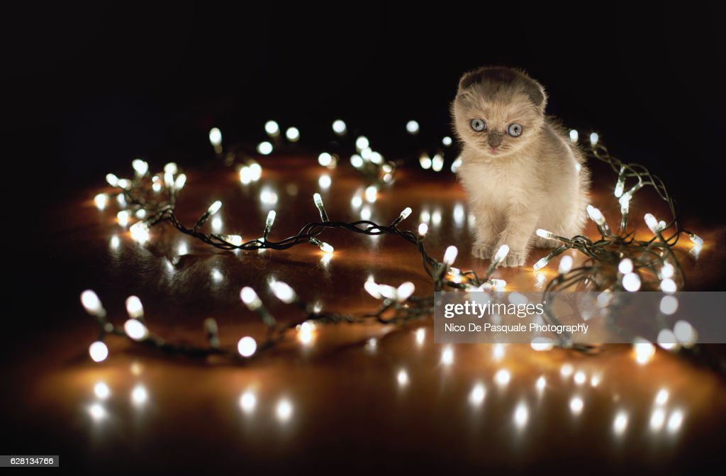 Scottish Fold kitten : Stock Photo