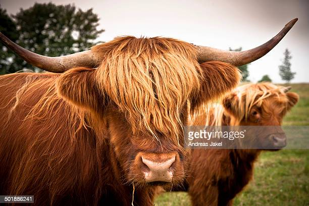 Scottish Highland Cattle, Rerik, Rerik, Mecklenburg-Western Pomerania, Germany
