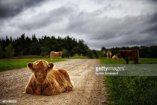 Scottish hightland cattle on the road