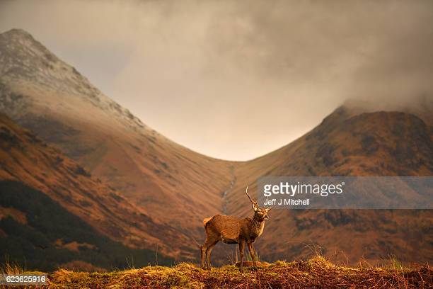 Scottish red deer graze in Glen Etive following the end of the rutting season on Novemebr 16 2016 in Glen Etive Scotland The rutting season sees the...