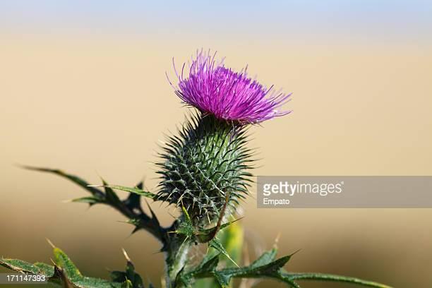 Scottish Thistle Flower (XL)