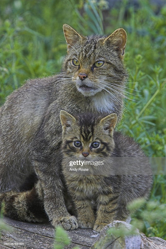Scottish wildcat standing by kitten, close-up : Stock Photo
