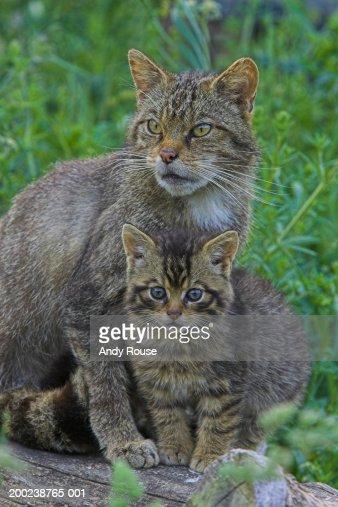 Scottish wildcat standing by kitten, close-up : Stock Photo