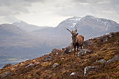 The celebrated 'Monarch of the Glen' red deer stag overlooking Loch Torridon and the dramatic Wester Ross mountain range from high up on Beinn Alligin, Scotland. ProPhoto RGB profile embedded for accu