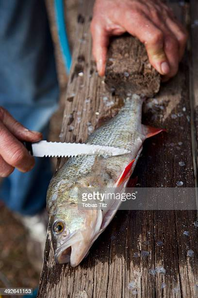 Scraping scales from fish using kitchen knife, close-up