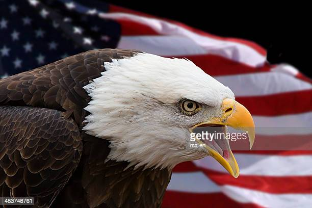 Bald Eagle Stock Photos And Pictures Getty Images