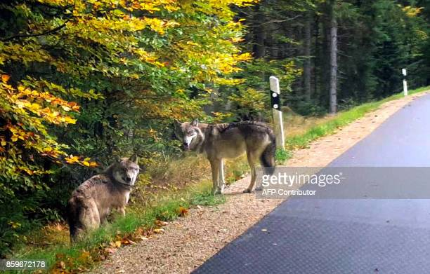A screenshot from a video filmed on October 6 2017 shows two wolves on a street near Lindberg in the Bavarian Forest southern Germany A family saw...