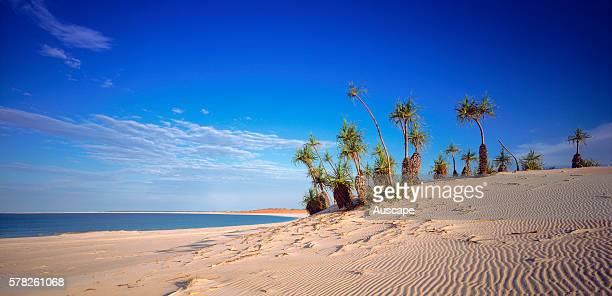 Screw pines Pandanus spiralis finding sustenance in a sand dune Cape Leveque Kimberley region Western Australia Australia