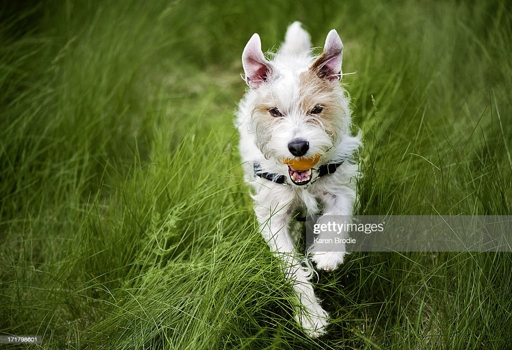 Scruffy Jack Russell with Ball running : Stock Photo