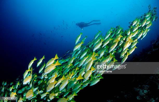 Scuba diver and a school of Bluestripe Snapper (Lutjanus kasmira), Maldive Islands, Indian Ocean