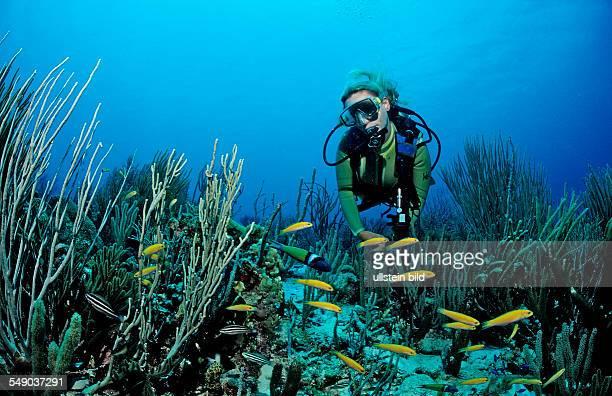 Scuba diver and Bluehead Wrasses Thalassoma bifasciatum Netherlands Antilles Bonaire Caribbean Sea