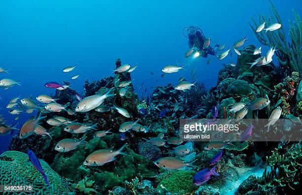 Scuba diver and Brown Chromis Chromis multilineata Netherlands Antilles Bonaire Caribbean Sea